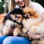 Do Pomeranians Need a Lot of Attention?