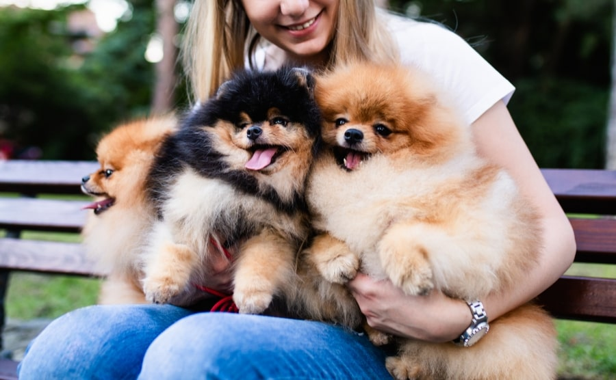 Three Pomeranians being held