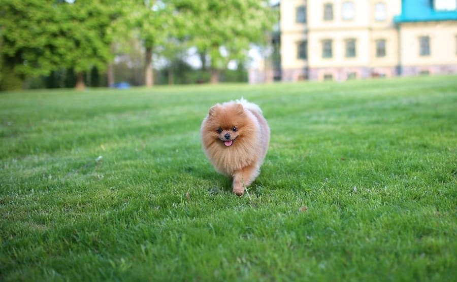 Pomeranian walking in grass lawn