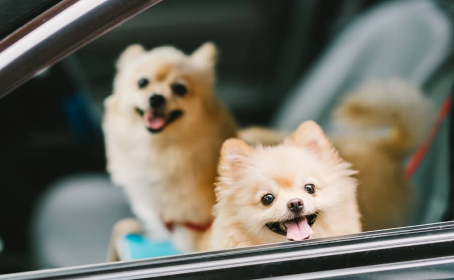 Two Pomeranians in car
